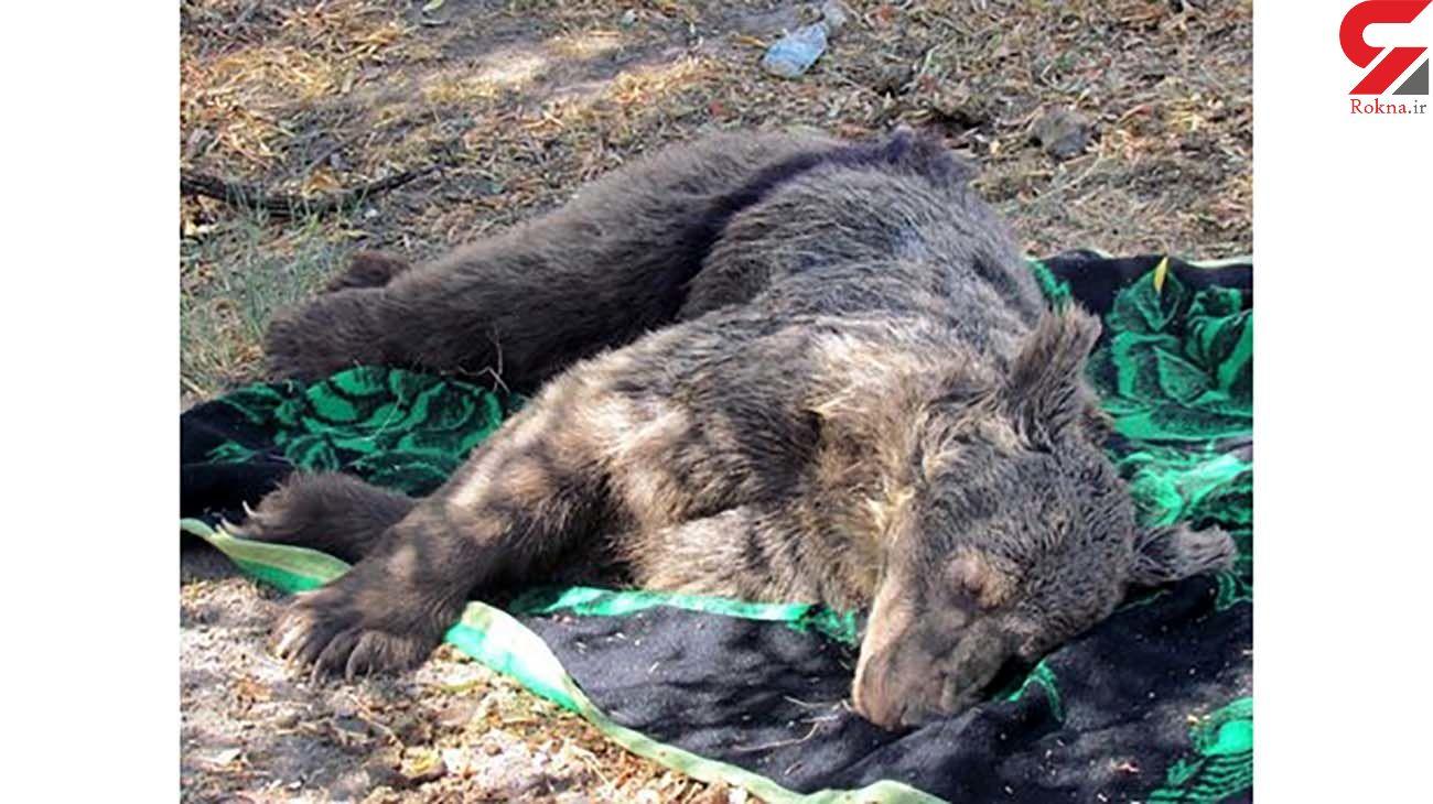 مرگ دردناک یک توله خرس در اردبیل +عکس تلخ