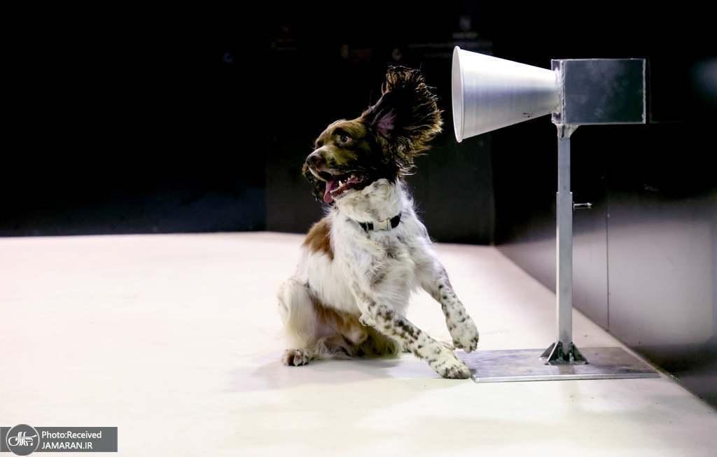 آموزش سگ ها برای تشخیص بیماری کرونا + عکس