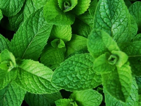 این گیاه ضامن سلامتی شماست