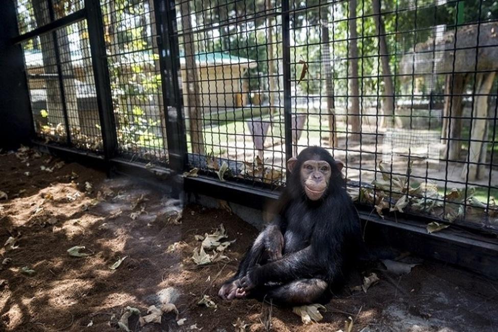 وضعیت شامپانزههای باغ ارم چگونه است؟