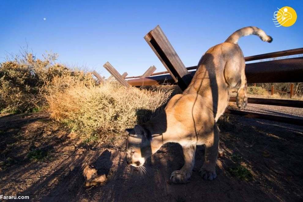 عبور حیوانات از دیوار مرزی آمریکا و مکزیک + عکس