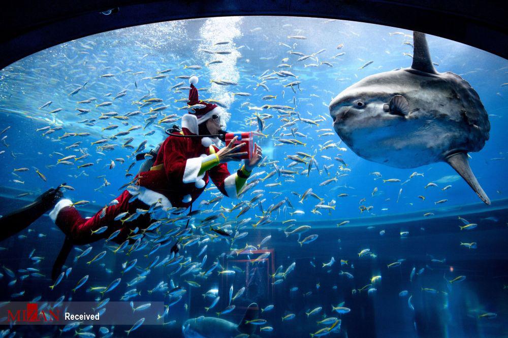 شنای بابانوئل با ماهیان آکواریوم + عکس