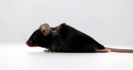 موش فلجی که قادر به راه رفتن شد! + عکس