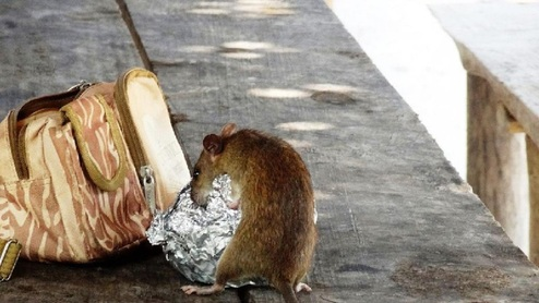 حمله موش غول پیکر به نوزاد مادرش را شوکه کرد +عکس