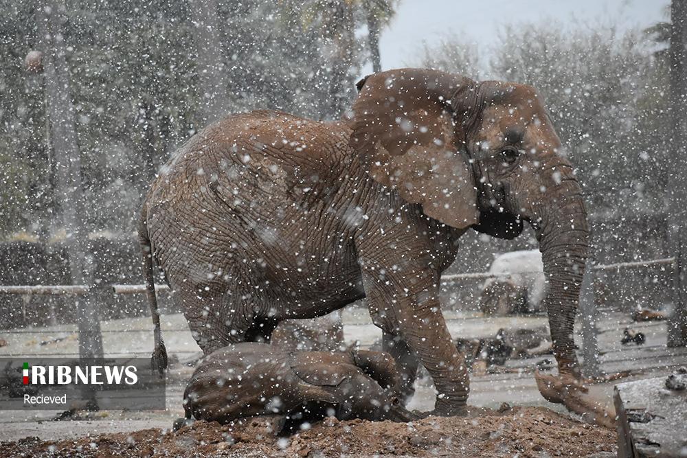 فیل زیر بارش برف + عکس