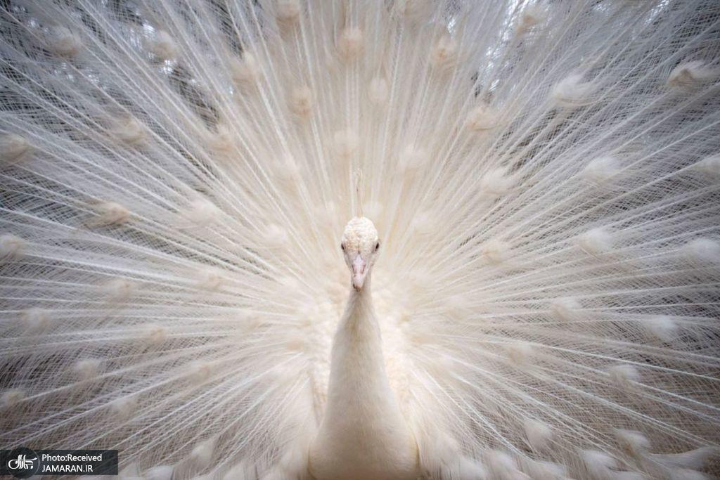 طاووس سفید در باغ وحش + عکس