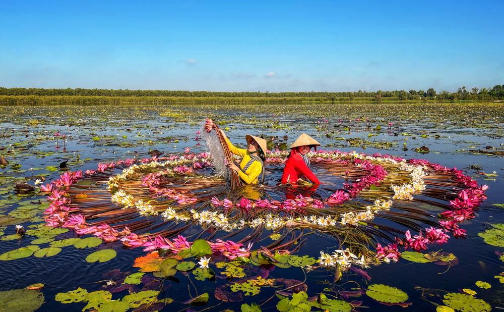چیدن گل های نیلوفر آبی در ویتنام + عکس