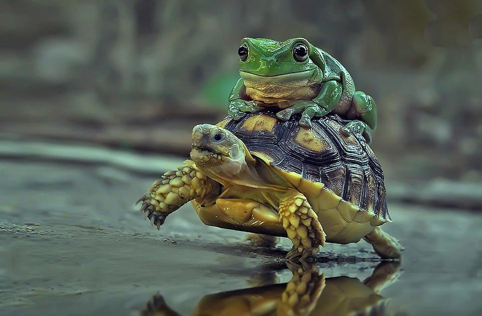 سواری گرفتن قورباغه از لاکپشت! + عکس