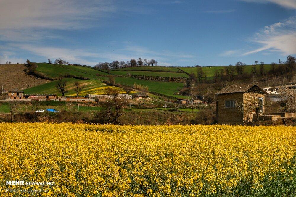 مزرعه کلزا در «زرندین» نکا + عکس