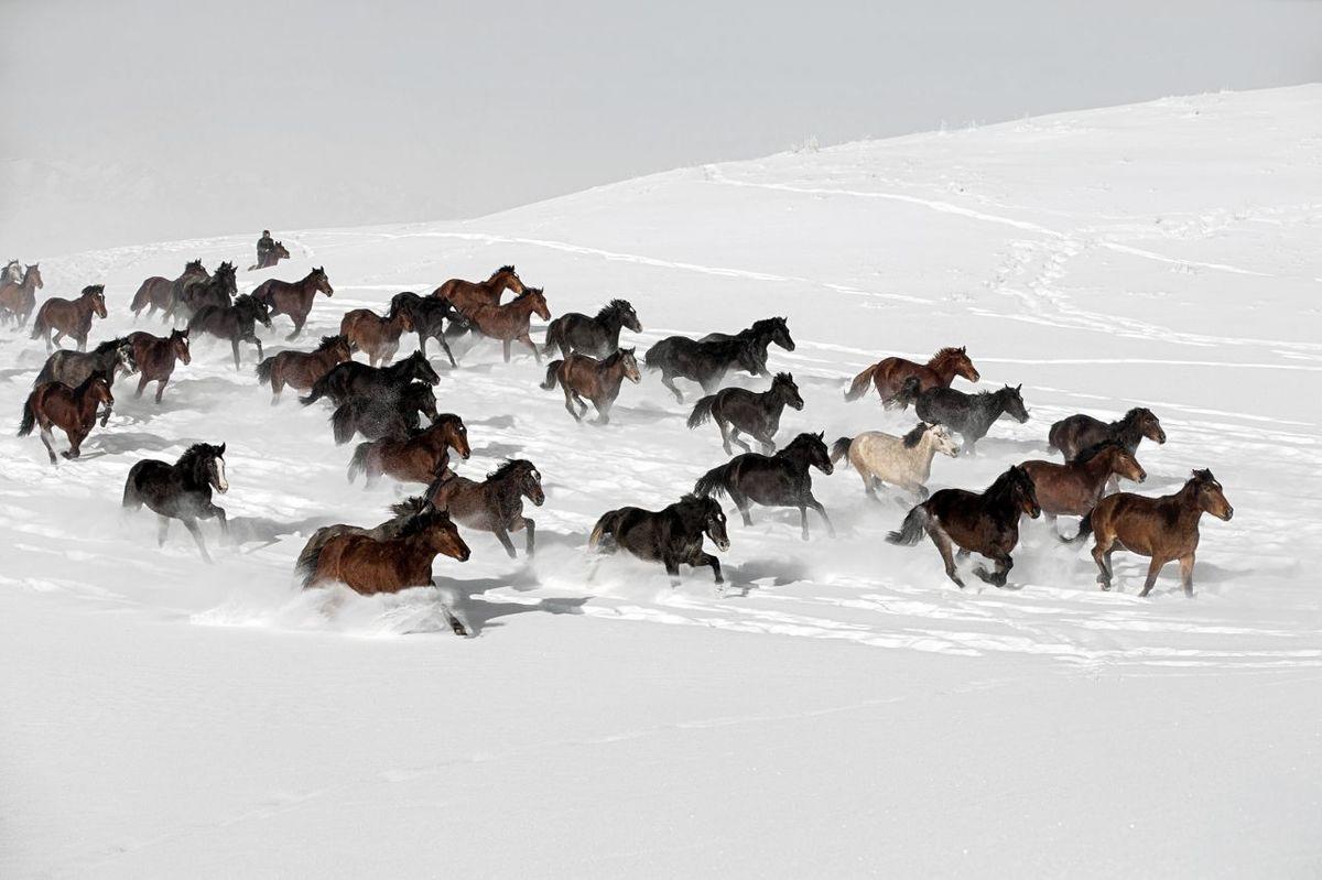 اسبهای وحشی در برف+ عکس