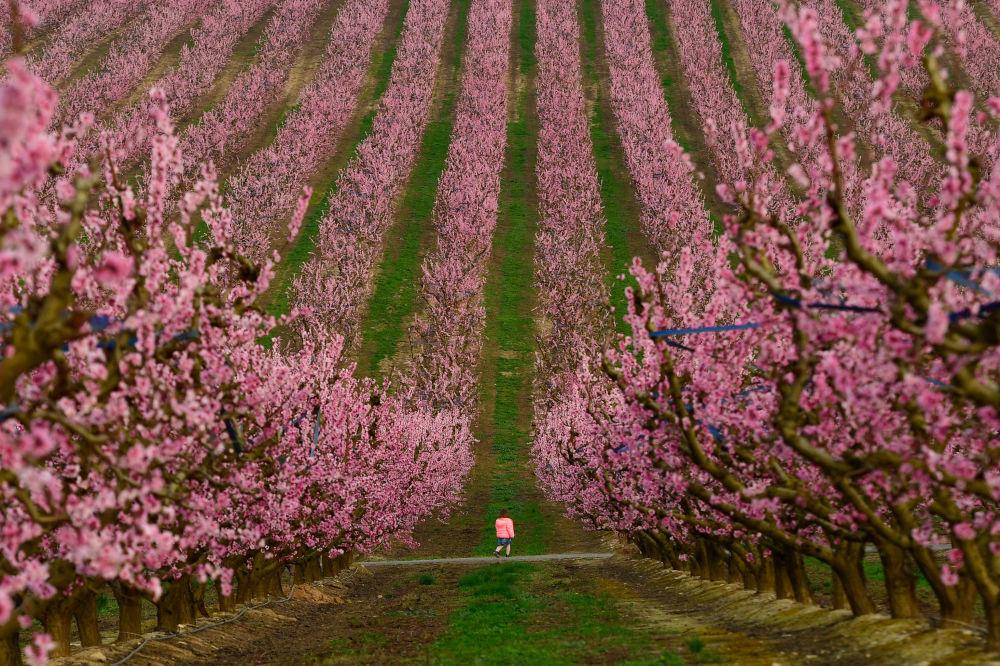 شکوفه های صورتی باغ درختان هلو + عکس