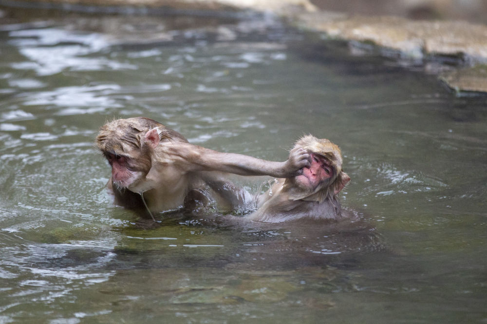 درگیری ماکاک ها در آب گرم + عکس
