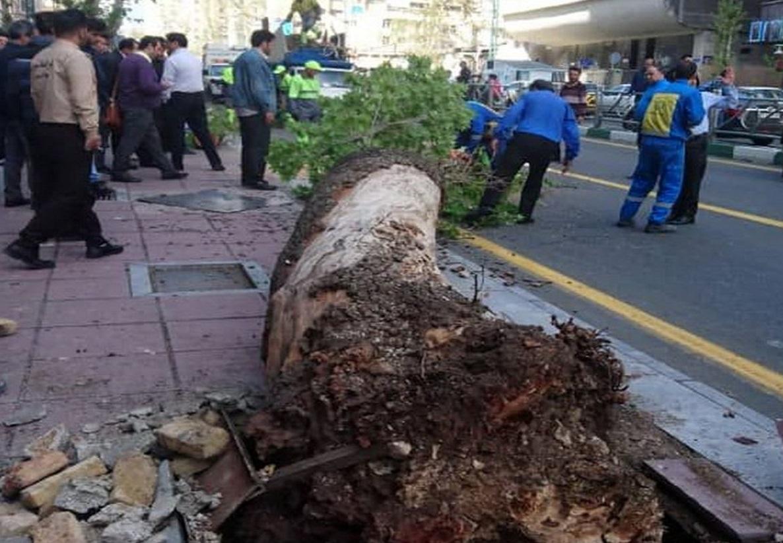 پوسیدگی و بیماری قارچی؛ علت سقوط درخت خیابان ولیعصر