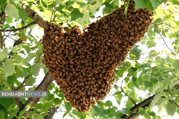 راز زنبورهای عسل در تابستان چیست؟