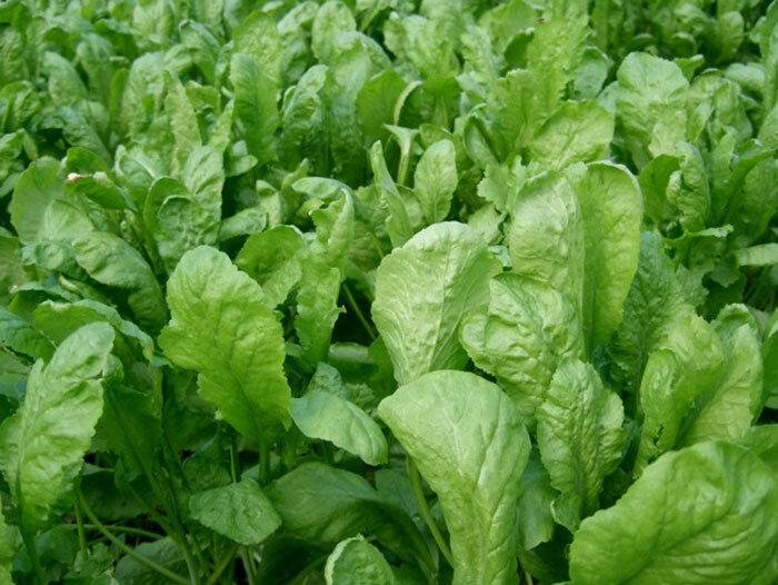 با این سبزی موجود در سبزی خوردن سرفه را درمان کنید