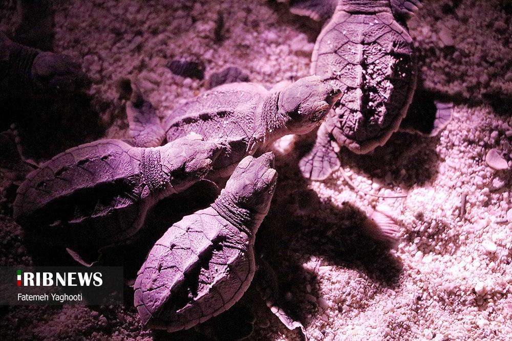 به دنیا آمدن لاک پشتهای پوزه عقابی در سواحل جزیره کیش + عکس