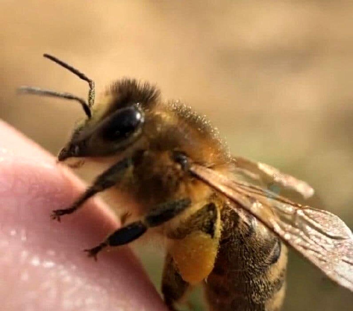 تصویر باورنکردنی از انگشتان زنبور عسل