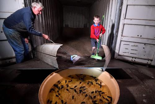 جمع کردن موش در یک انبار ذخیره گندم توسط کشاورز استرالیایی! + عکس