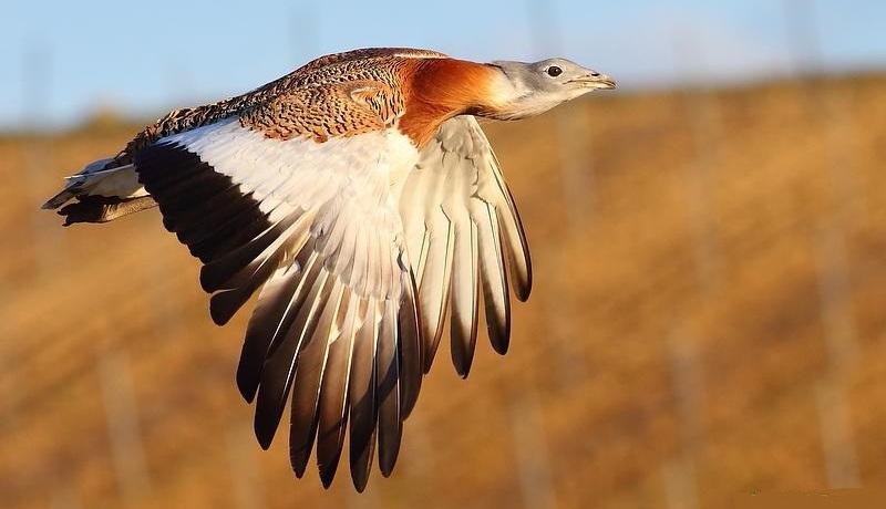 میش مرغ، یکی از بزرگترین پرندگان ایران + عکس