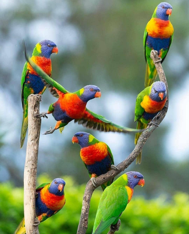 طوطی های رنگین کمانی + عکس