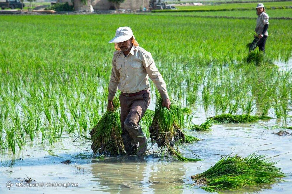 کشت برنج به بهای خشکسالی+ عکس
