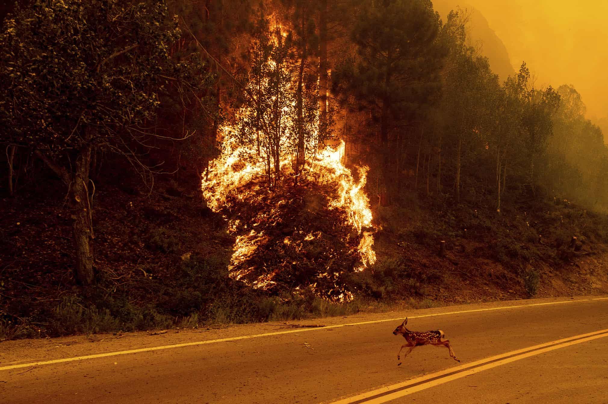 بچه آهوی وحشت زده از آتش سوزی جنگل های کالیفرنیا + عکس