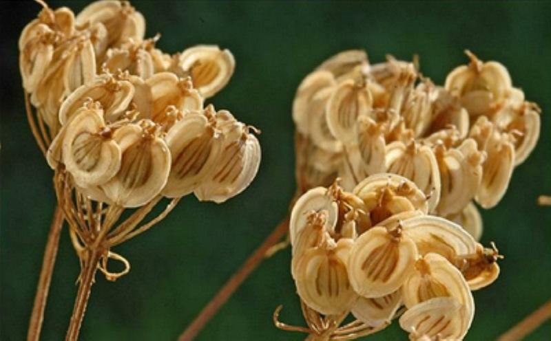 با گیاه پرکاربرد گلپر بیشتر آشنا شوید/ از درمان نفخ تا آرتروز