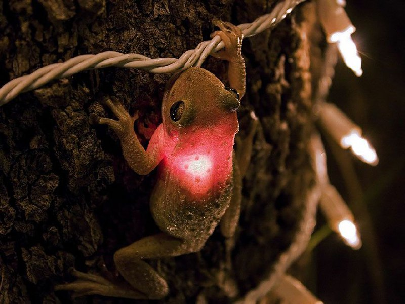 قورباغه کوبایی در حال خوردن لامپ + عکس