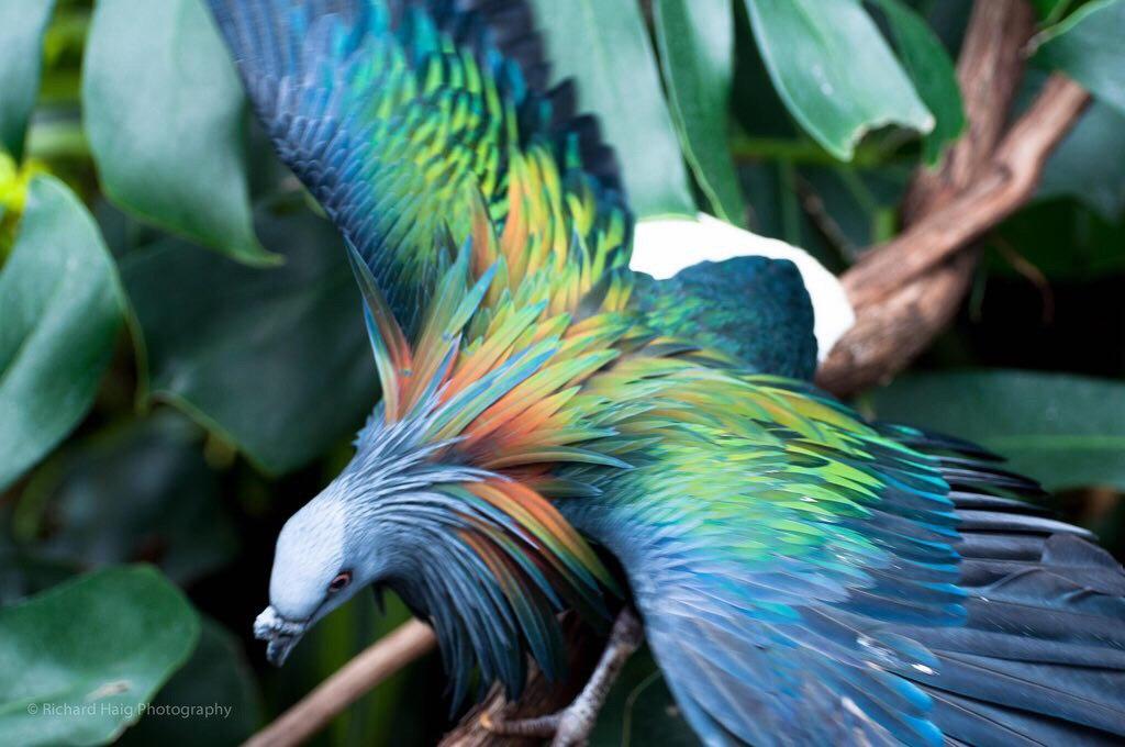 باور کنید این پرنده زیبا، کبوتر است! + عکس