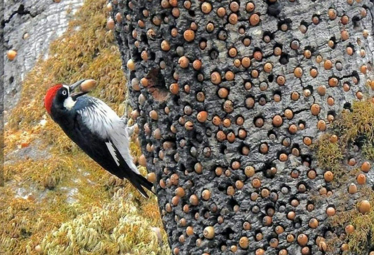 دارکوبی که غذایش را در درخت ذخیره می کند! + عکس