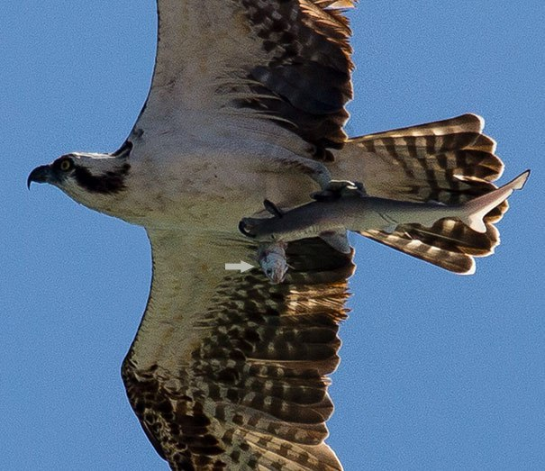 عکسی جالب از پرنده ای که کوسه رو شکار کرده + عکس