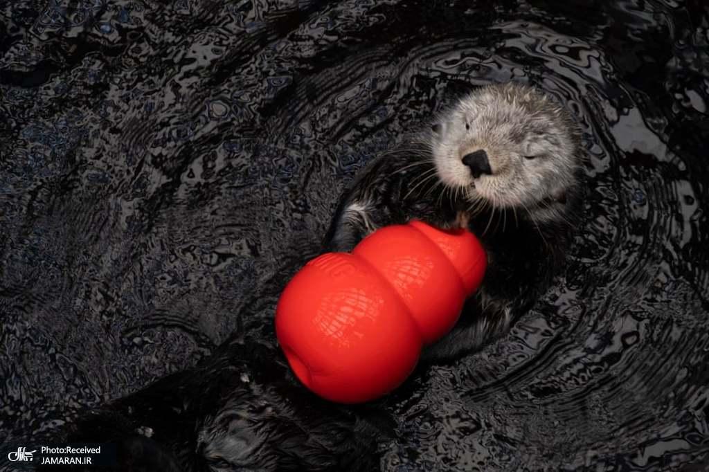 بازی یک سمور با اسباب بازی در دریای لیسبون پرتغال + عکس