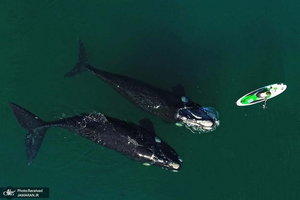 شنای نهنگ ها در کنار مردی که در حال تمرین با پدل برد خود است + عکس