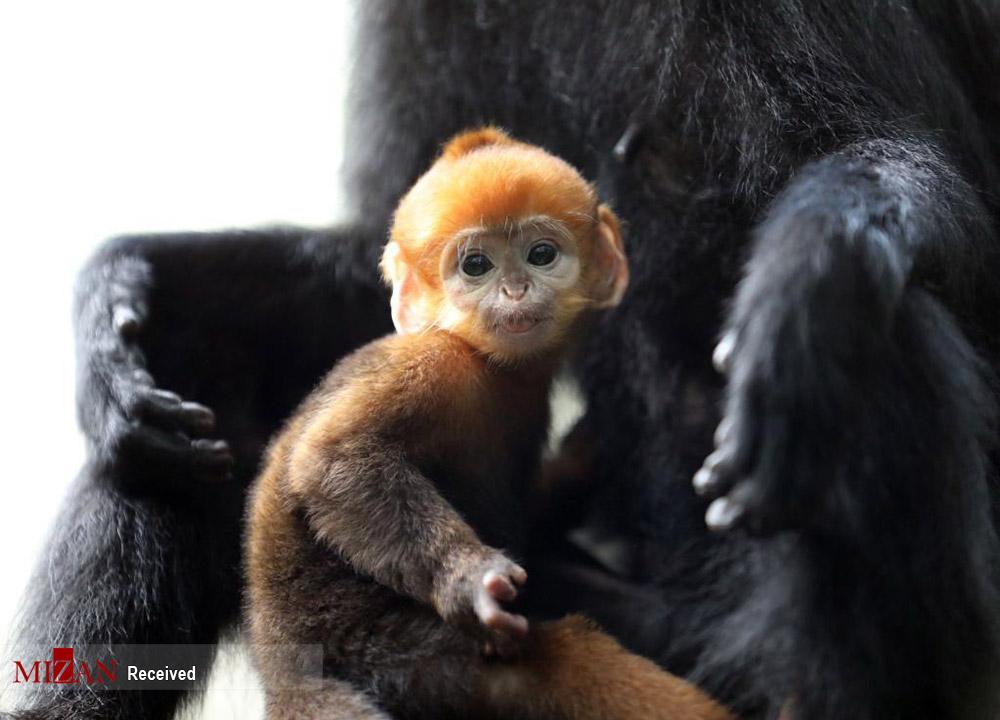 تولد گونهای نادر و دیدنی از میمون + عکس