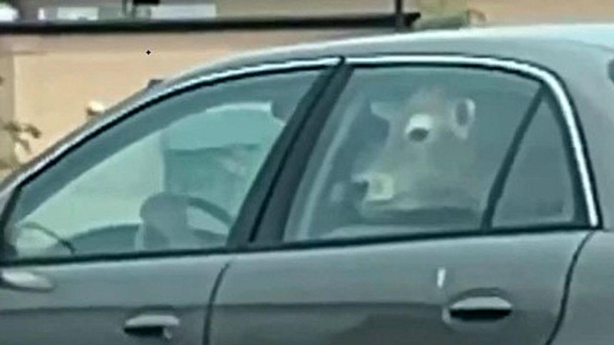 حمل گاو در صندلی عقب خودرو! +فیلم