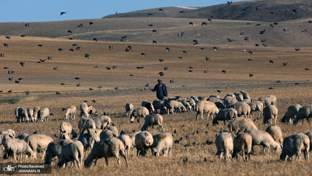 چرای گله گوسفندان در منطقه گلباشی ترکیه + عکس
