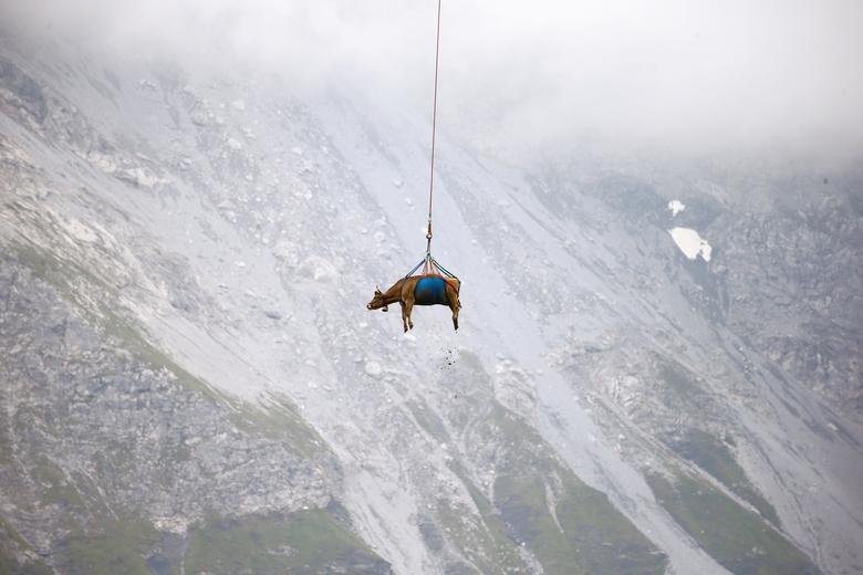انتقال گاو با هلی کوپتر در مراتع مرتفع «آلپ» سوئیس + عکس