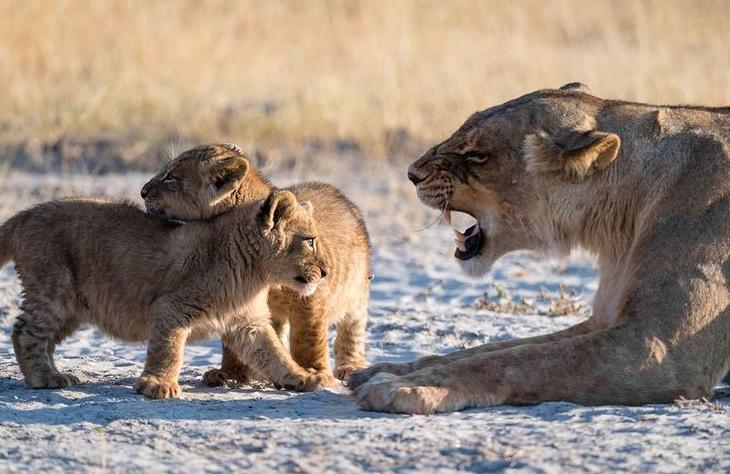 توبیخ توله شیرها توسط والد مادر + عکس