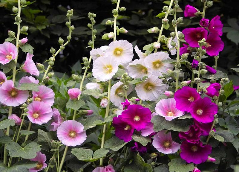 فواید باورنکردنی گل ختمی/ درمان مشکلات تنفسی تا سوختگی