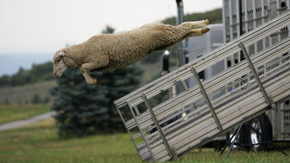 پرش جالب یک گوسفند + عکس