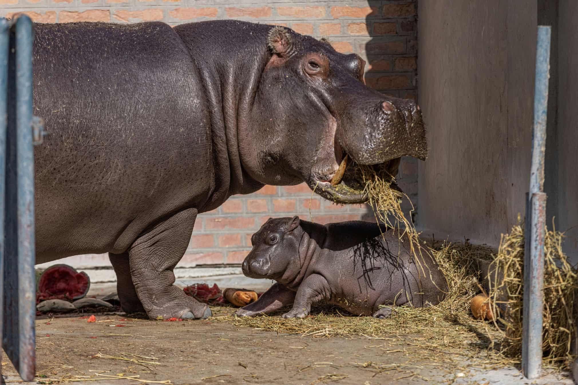 نمایی از اسب آبی و فرزندش در باغ وحش بلگراد + عکس