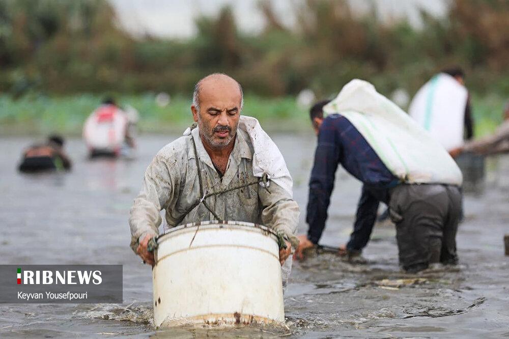 مراسم ماهیگیری دسته جمعی در بابلسر+ عکس