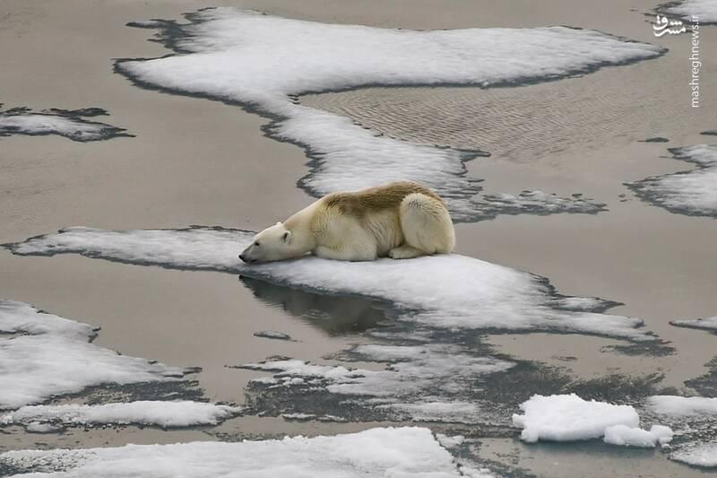 تصویری دردناک از قطب شمال + عکس