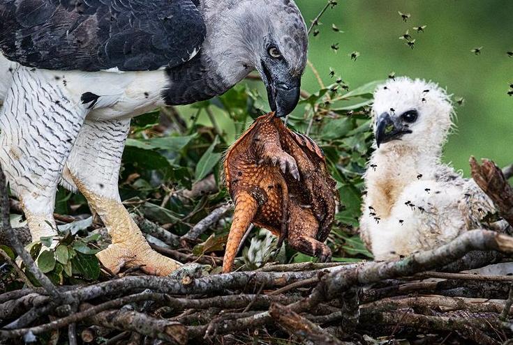 تصویری دیدنی از عقاب هارپی و تغذیه فرزندش  + عکس