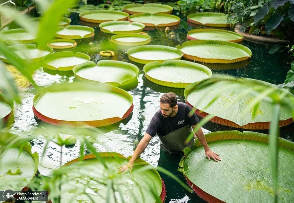 نمایی از نیلوفرهای آبی در باغ گیاه شناسی لندن + عکس