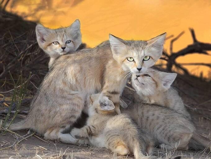 خانواده گربه شنی در بیابانهای ایران + عکس