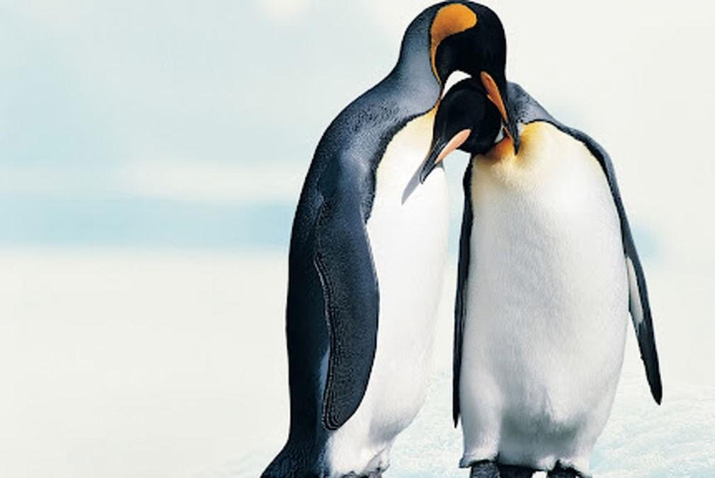 عاشقانه هایی از دو پنگوئن + عکس