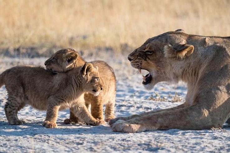 صحنه ای جالب از تشر زدن شیر والد به فرزندانش + عکس