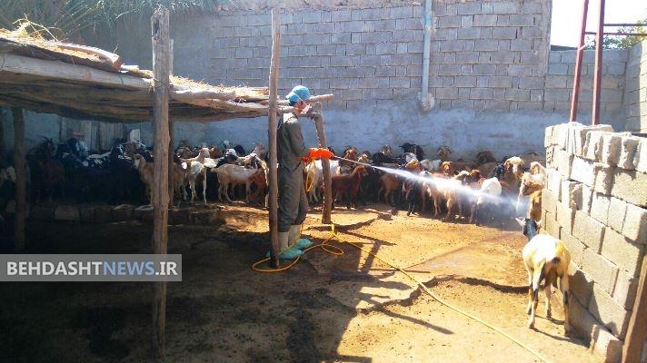دامداران برای جلوگیری از تب کریمه کنگو جایگاه دامها را سمپاشی کنند