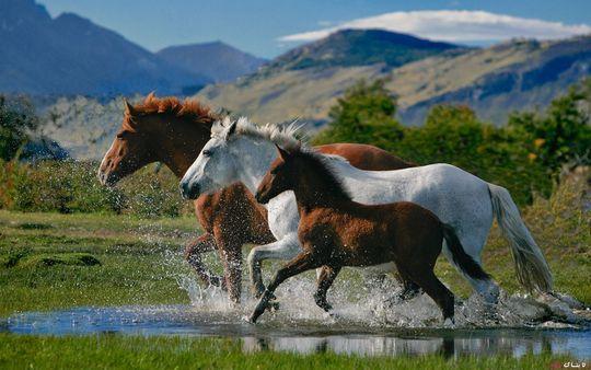 چرا وقتی پای اسب می شکند، او را می کشند؟ + عکس
